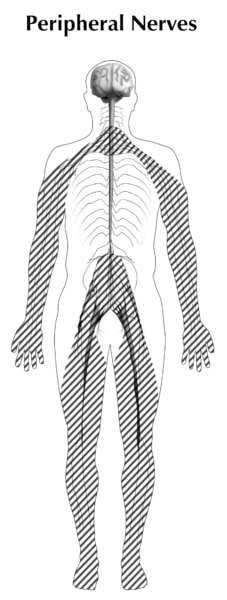 Illustration of a human body showing peripheral nerves with brains, a spinal cord, and lines going through it.