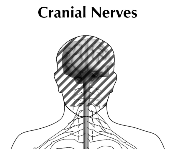 Illustration of the head and shoulders of a person showing the cranial nerves.  The brain and spinal cord is seen and the head portion is dashed out.