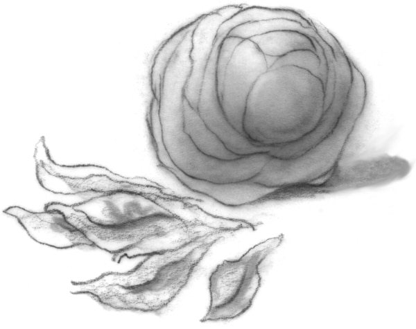 Drawing of a head of lettuce.