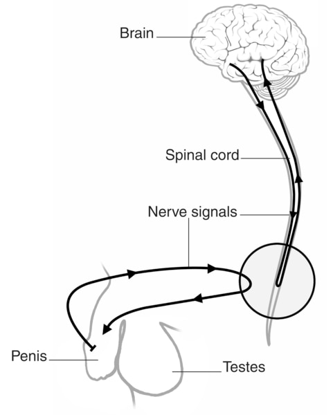 Drawing of nerve signals traveling from the brain to the penis.