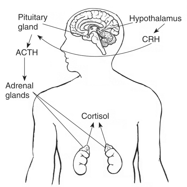 Drawing of the brain and adrenal glands with hypothalamus, pituitary gland, and adrenal glands labeled and arrows diagramming the effect of CRH on ACTH and the effect of ACTH on cortisol.