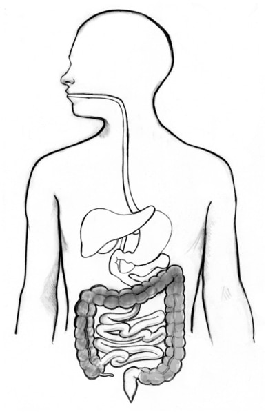 Drawing of the digestive tract. The colon is shaded.