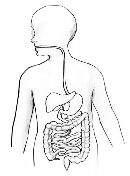 Drawing of the gastrointestinal tract.