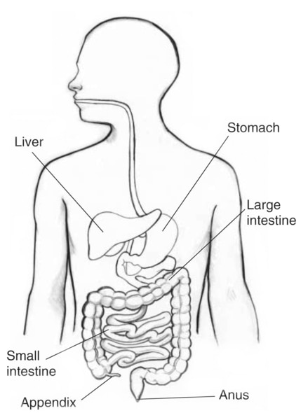 Drawing of the gastrointestinal tract with the liver, stomach, large intestine, small intestine, appendix, and anus labeled.