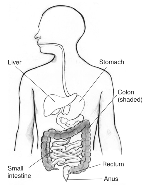 Drawing of the gastrointestinal tract with the liver, stomach, small intestine, colon, rectum, and anus labeled. The colon is shaded.