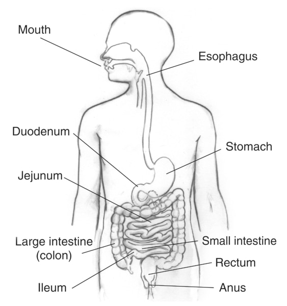 Drawing of the digestive system with sections labeled: mouth, esophagus; stomach; small intestine, including the duodenum, jejunum, and ileum; large intestine (colon); rectum; and anus.