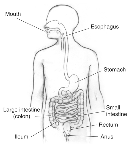 Drawing of the digestive tract with the mouth; esophagus; stomach; small intestine; large intestine; also called colon; ileum; rectum; and anus labeled.