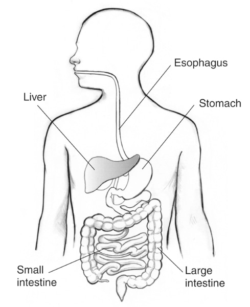 Drawing of the digestive tract with the esophagus, stomach, liver, small intestine, and large intestine labeled.