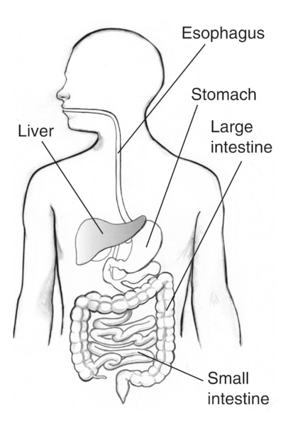 Drawing of the digestive tract with the esophagus, liver, stomach, large intestine, and small intestine labeled. The liver is shaded.