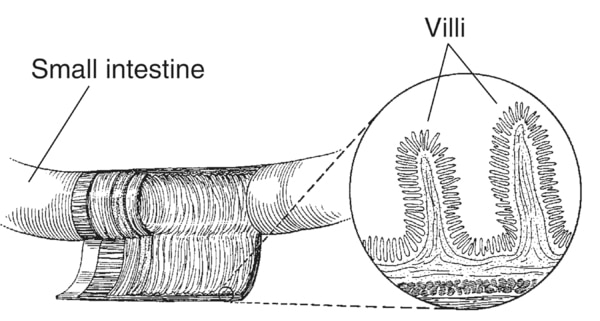 Drawing of a section of the small intestine with detail of villi, both of which are labeled.