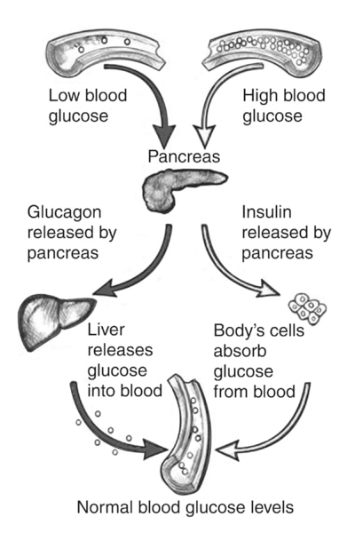 Drawing showing how the pancreas responds to low or high blood glucose levels.