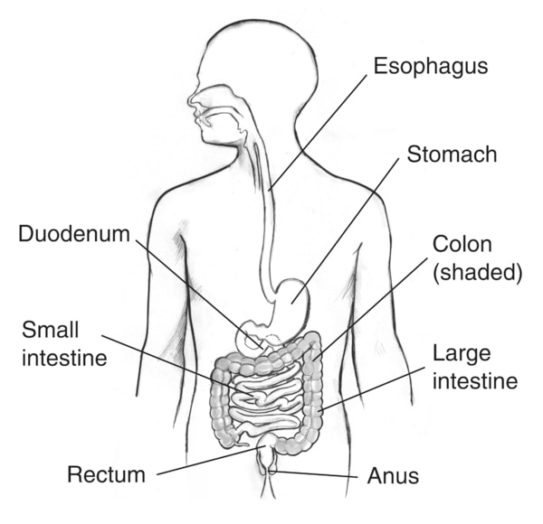 Illustration of the digestive tract within an outline of the top half of a human body. The esophagus, stomach, duodenum, small intestine, large intestine, colon, rectum, and anus are labeled.