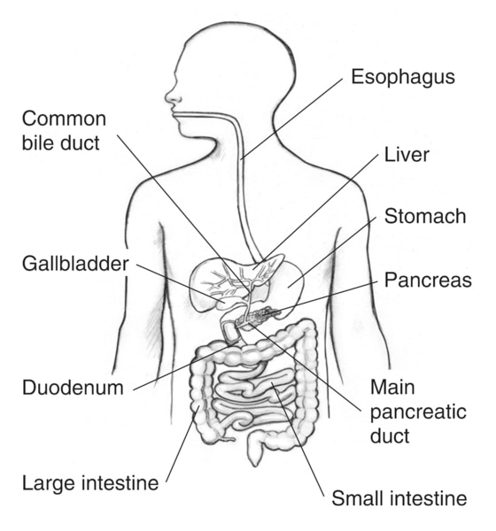 Drawing of the gastrointestinal tract inside the outline of a man's torso with the esophagus, stomach, liver, common bile duct, gallbladder, pancreas, main pancreatic duct, duodenum, small intestine, and large intestine labeled.
