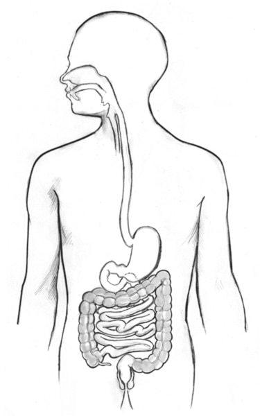 Drawing of the digestive tract within an outline of the top half of a human body.