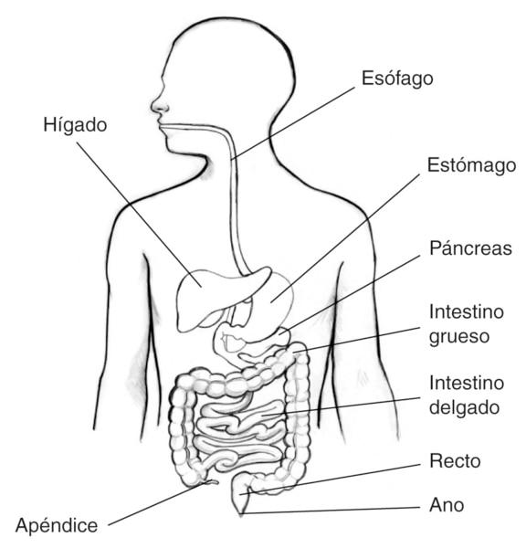 Ilustración del aparato digestivo dentro de una silueta de la parte superior del cuerpo humano. Se señala el apéndice, hígado, esófago, estómago, páncreas, intestino grueso, intestino delgado, recto y ano.