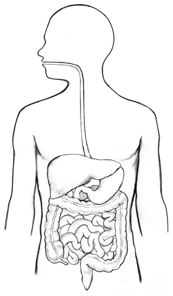 Illustration of the digestive tract within an outline of the top half of a human body.