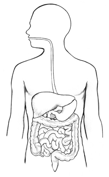 Illustration of the digestive tract within an outline of the top half of a human body. The mouth, esophagus, stomach, and small intestine not labeled.