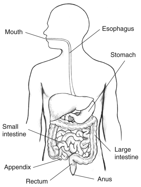 Drawing of digestive tract within the outline of the top half of a human body.