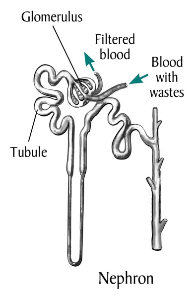 Drawing of a nephron, with labels pointing to glomerulus, tubule, filtered blood, blood with wastes.