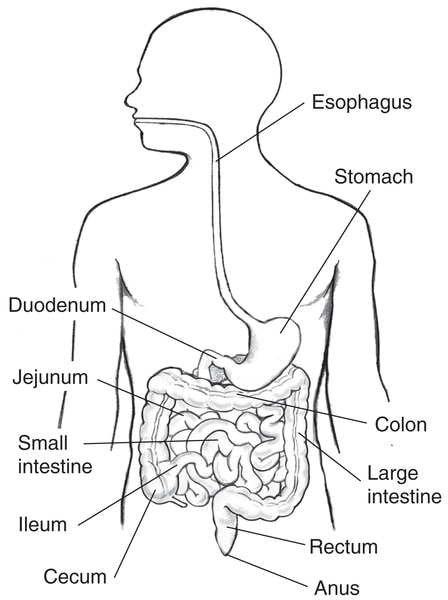 Drawing of the GI tract, with the esophagus, stomach, small intestine, duodenum, jejunum, ileum, large intestine, cecum, colon, rectum, and anus labeled.