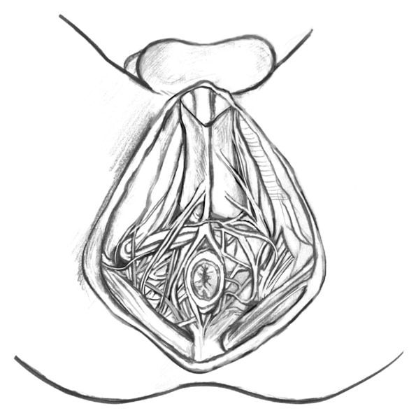 Drawing of the male perineum.