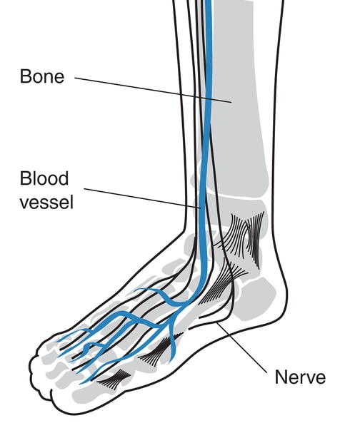 Drawing of a foot showing blood vessels, bones, and nerves labeled.