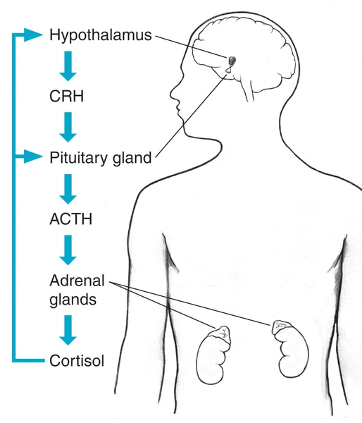 Drawing of the hypothalamus and adrenal glands within the outline of a male body. Sequence of cortisol production is illustrated.