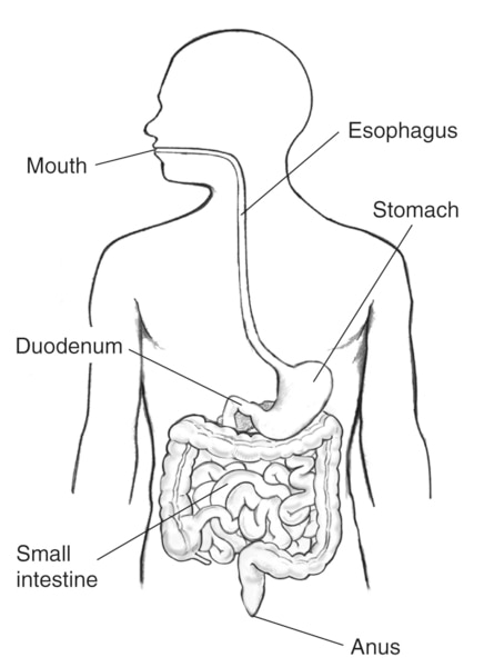 Drawing of the digestive tract within an outline of the human body. The mouth, esophagus, stomach, duodenum, small intestine, and anus are labeled.