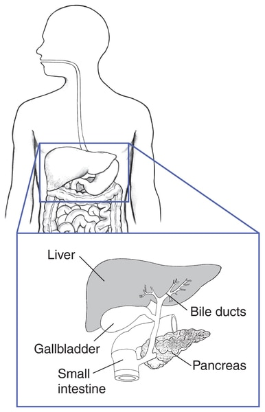 Drawing of the liver, bile ducts, gallbladder, pancreas, and small intestine.