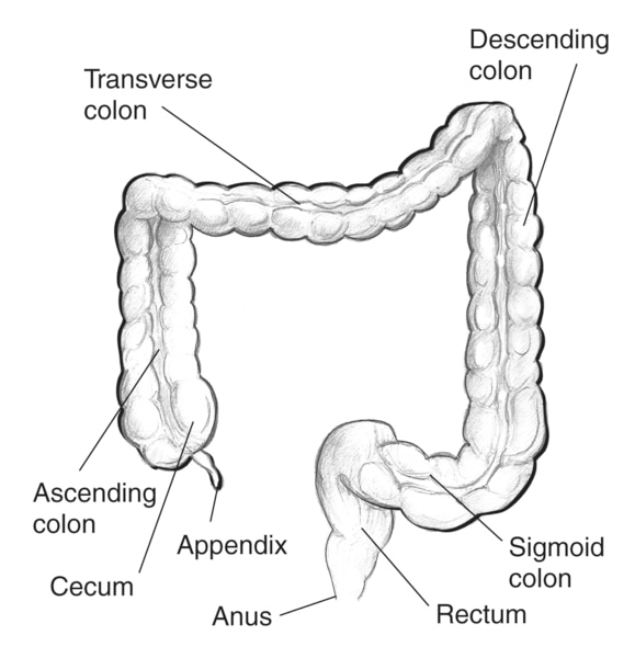 Drawing of the large intestine. The appendix, cecum, ascending colon, transverse colon, descending colon, sigmoid colon, rectum, and anus are labeled.