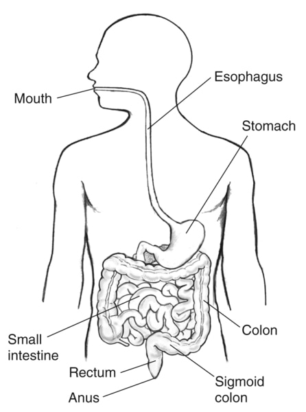 Drawing of the gastrointestinal tract within the outline of a male body, with labels pointing to the mouth, esophagus, stomach, small intestine, colon, sigmoid colon, rectum, and anus