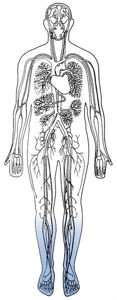 Illustration of a body torso showing the heart and blood vessels.