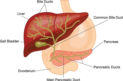 Illustration of the liver, pancreas, duodenum, gallbladder, and bile ducts, including the common bile duct, pancreatic ducts, and pain pancreatic duct.